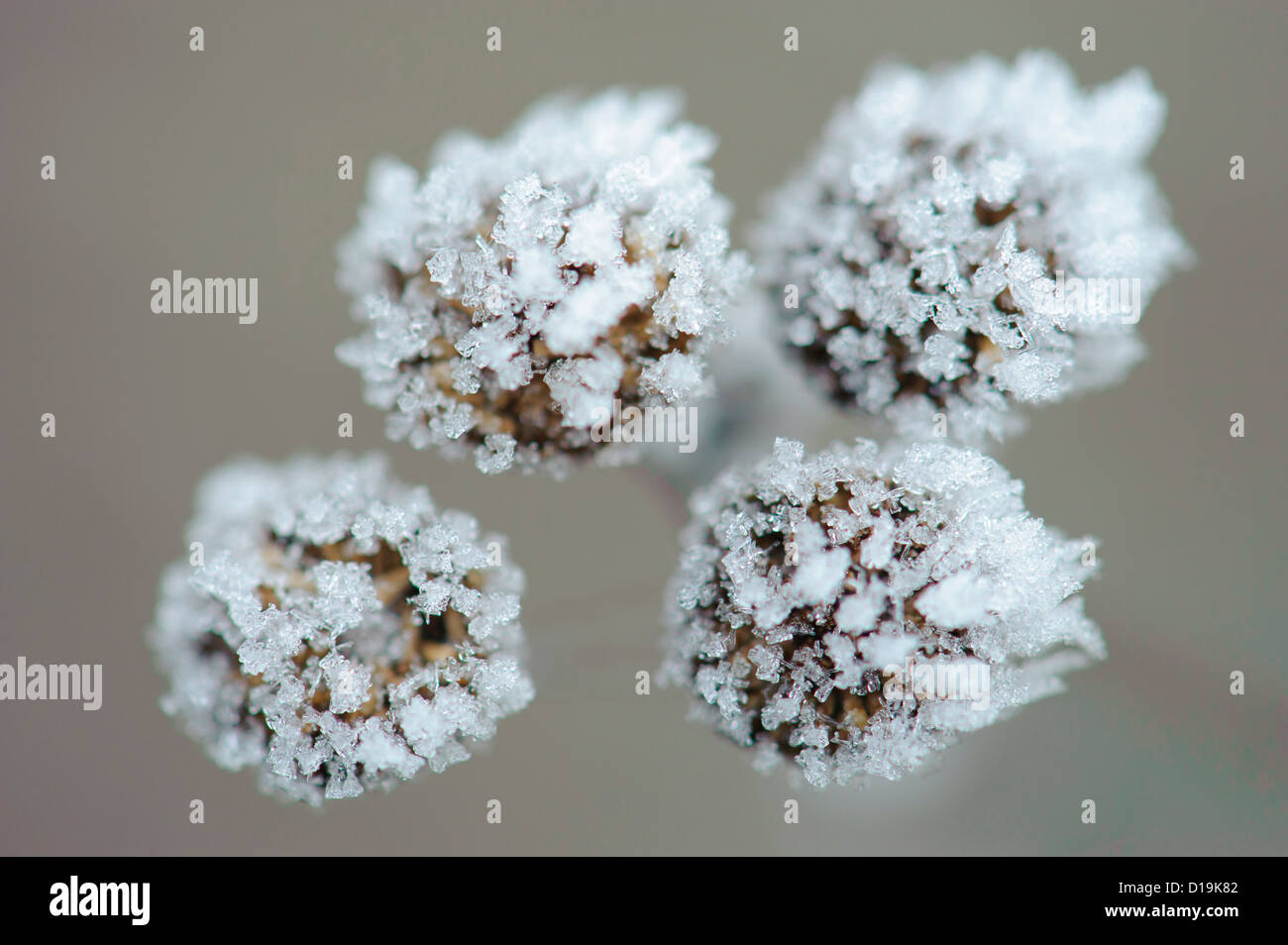 tansy (tanacetum vulgare) with ice crystals - Stock Image