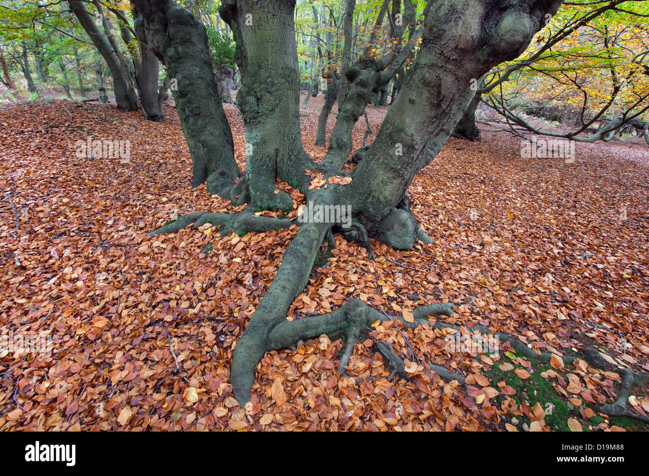 Ancient Beech pollards Fagus sylvatica in Autumn Epping Forest Essex - Stock Image