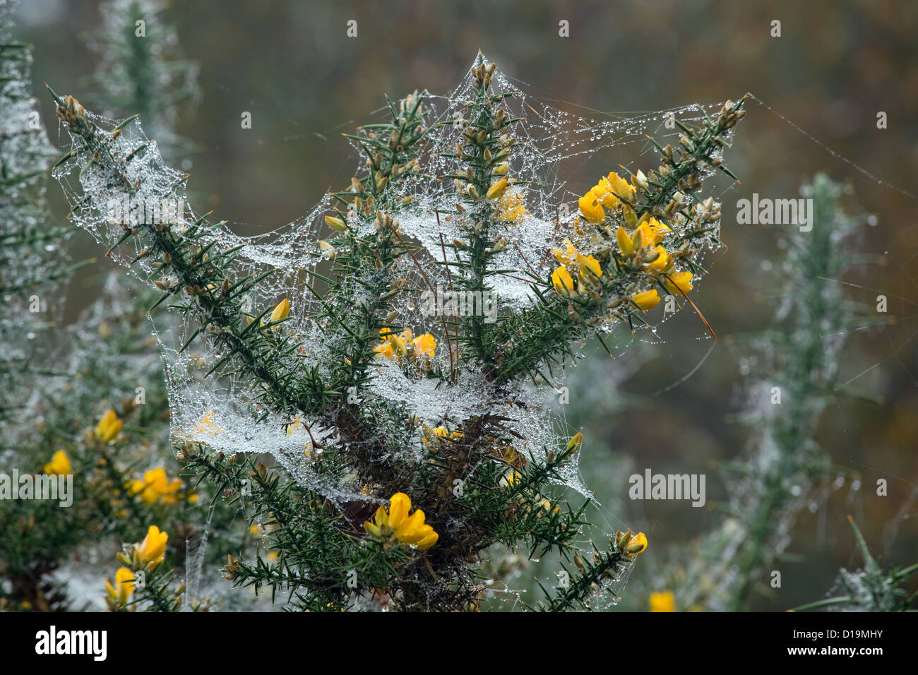 Gorse Ulex europaeus blooming in November & spiders webs - Stock Image