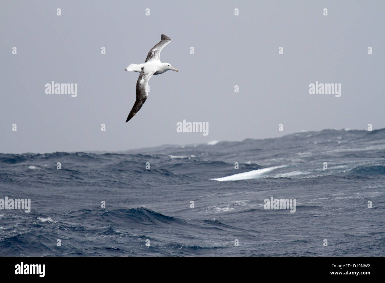 Adult Wandering Albatross in flight over the Southern Ocean near South Georgia - Stock Image