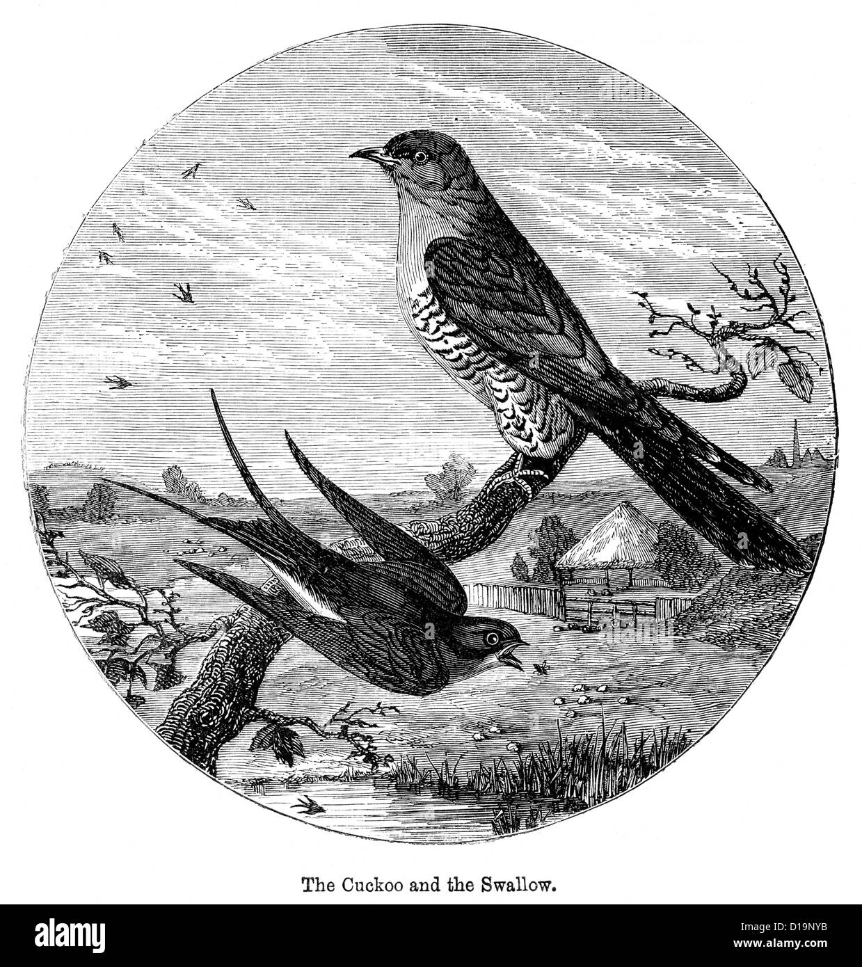 Victorian engraving of a Cuckoo and Swallow, 1897 - Stock Image