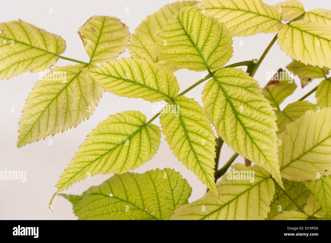 Residual damage to young raspberry foliage caused by glyphosate contamination - Stock Image