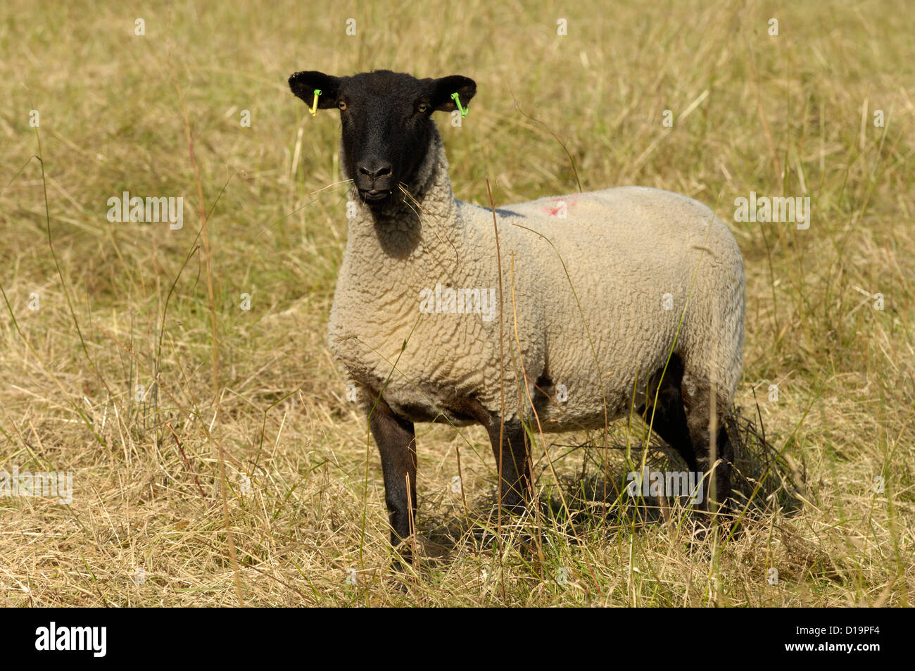 Shearling Suffolk ewe eating grass and looking startled in long grass - Stock Image