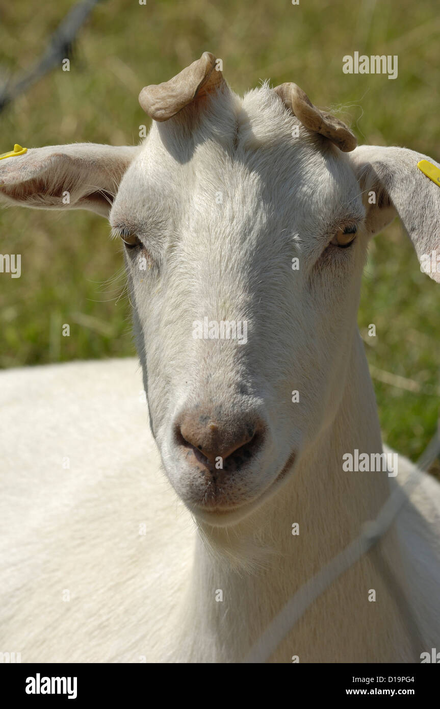 Head of a saanen wether goat badly polled deformed horns horns - Stock Image
