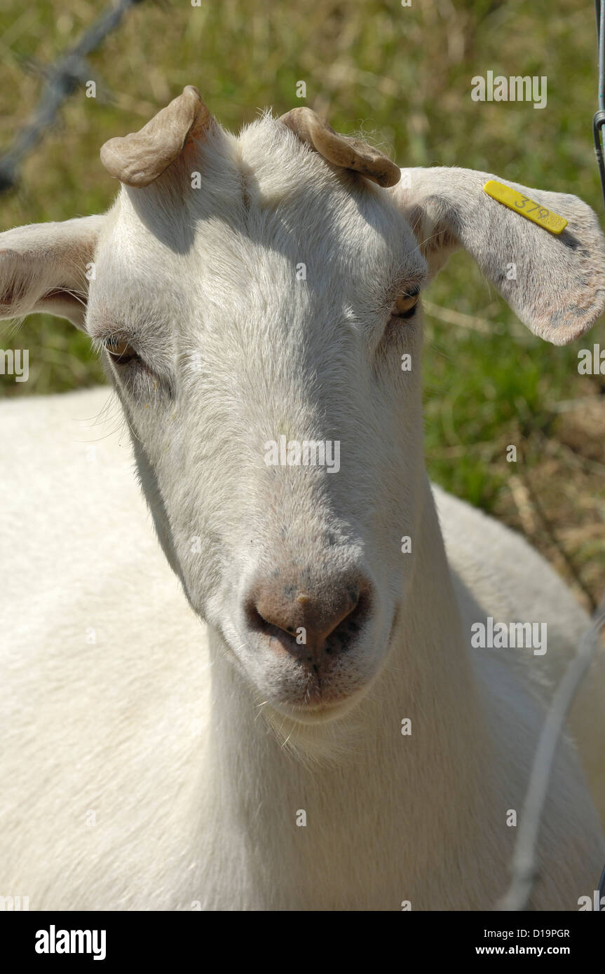 Head of a neutered saanen wether goat badly polled deformed horns horns - Stock Image