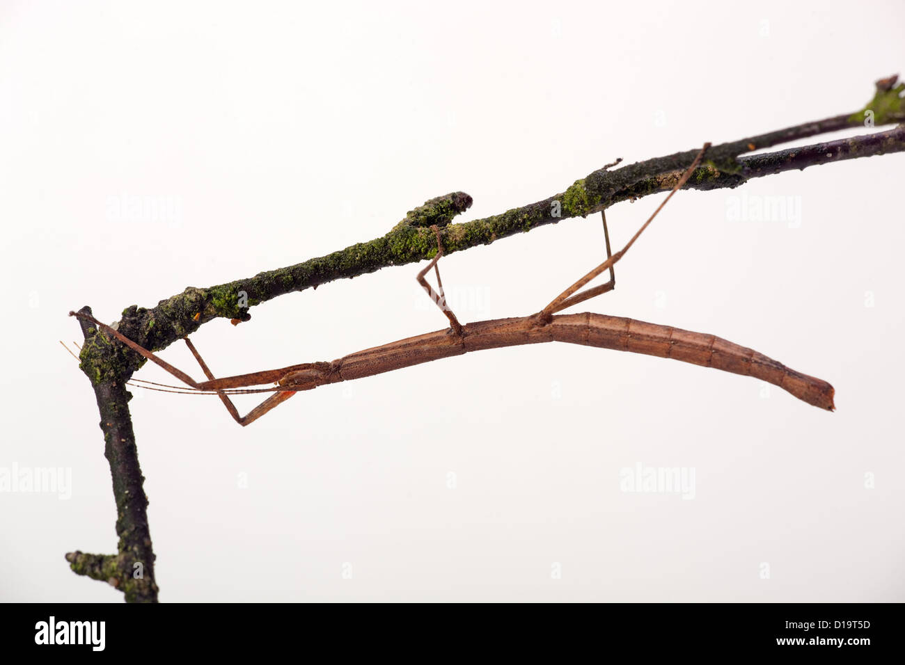 Stick insect Carausis morosus on twig - Stock Image