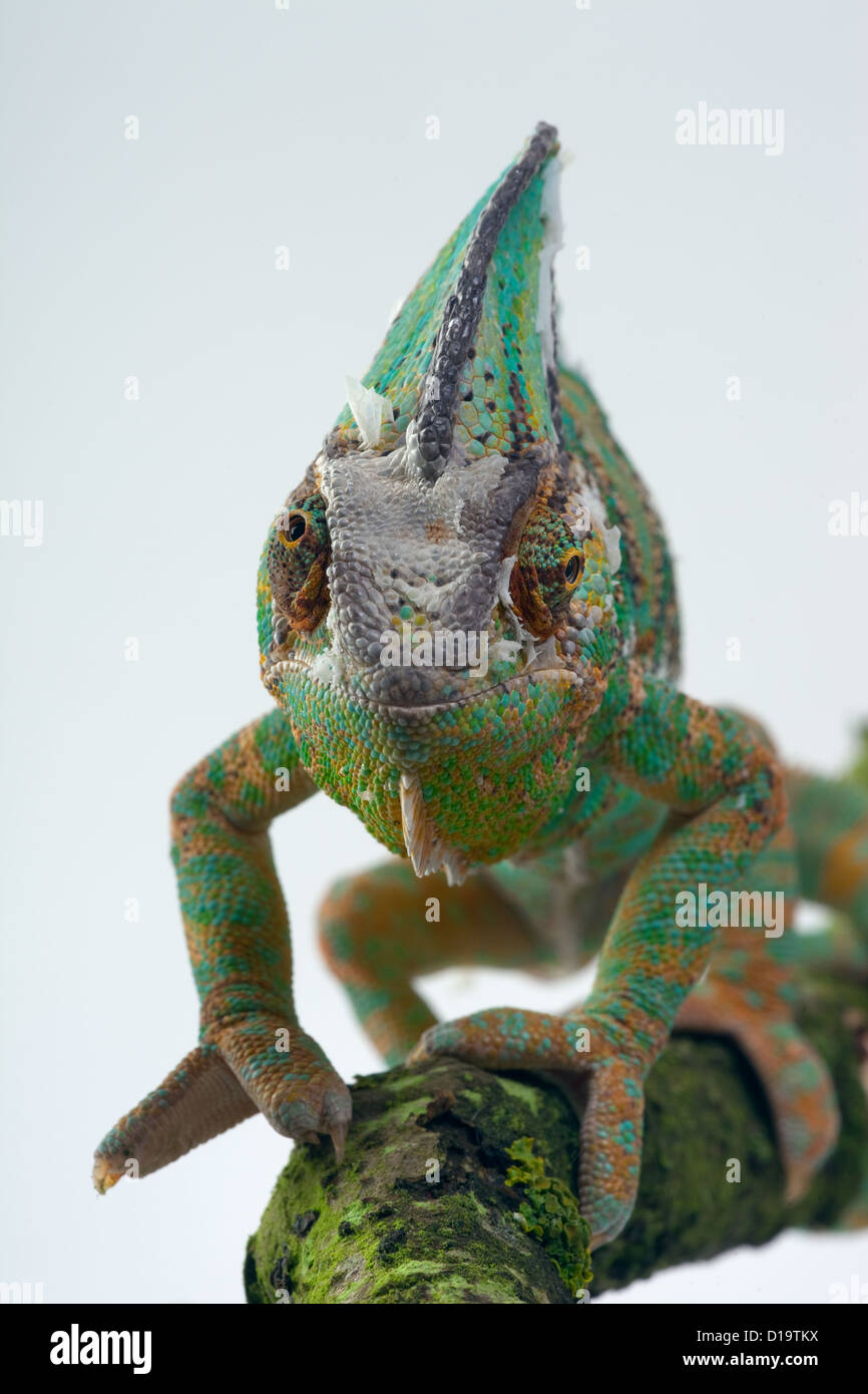 Yemen or Veiled Chameleon Chamaeleo calytratus showing eyes in different directions - Stock Image