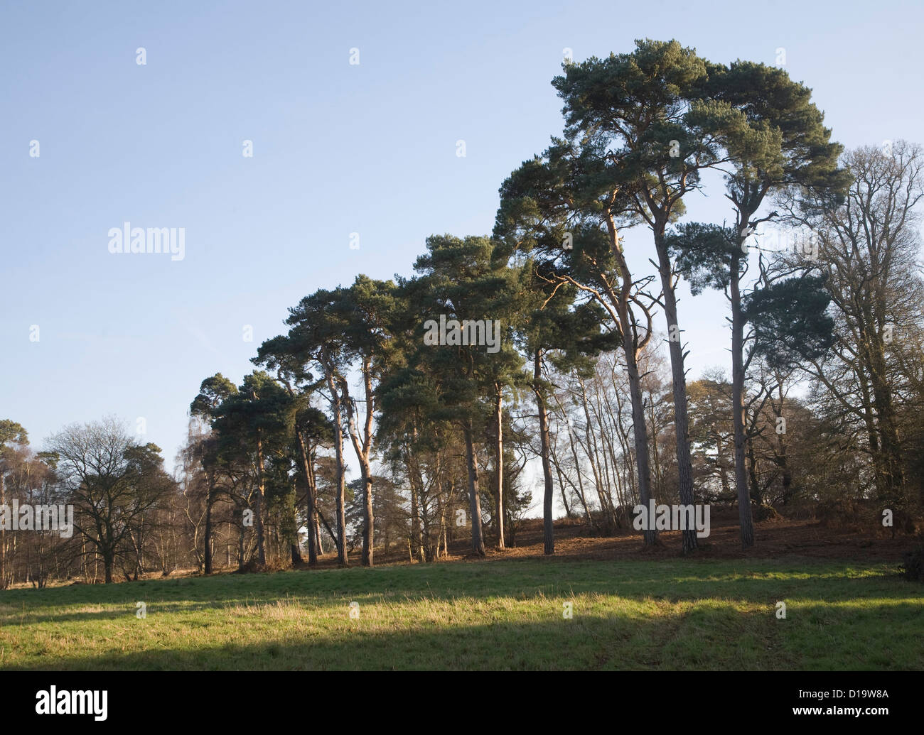 Scots pine trees Sutton Suffolk England - Stock Image
