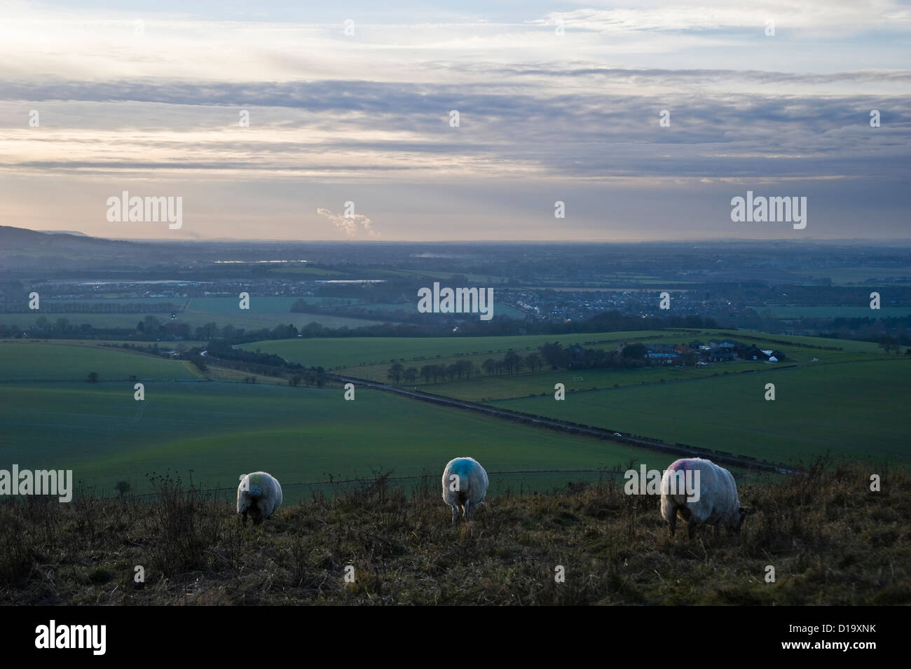 Sheep grazing on Ivinghoe Beacon at the end of The Ridgeway National Trail, Buckinghamshire, UK - Stock Image