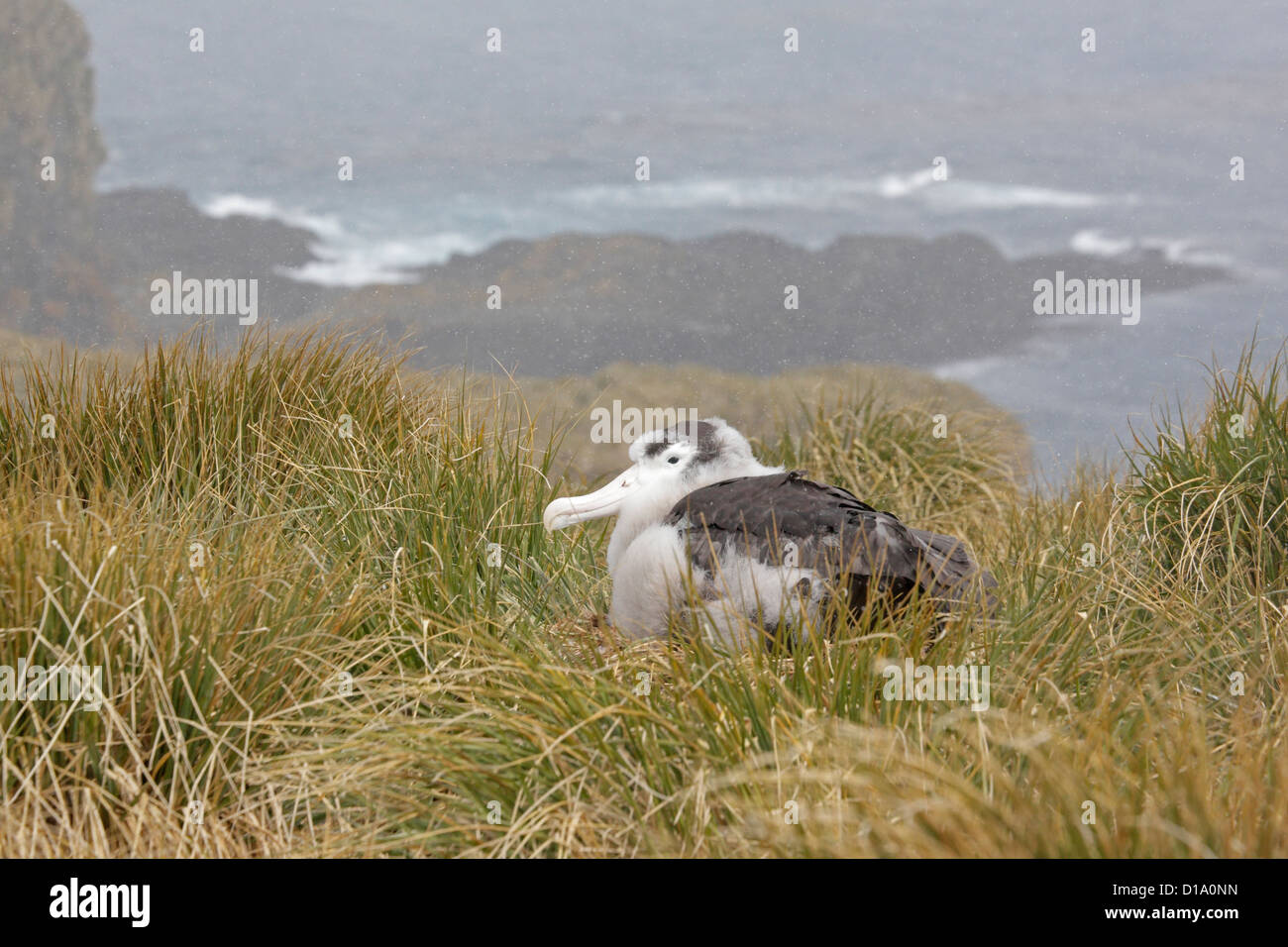 Mature Wandering Albatross chick in snow storm on Prion Island South Georgia - Stock Image