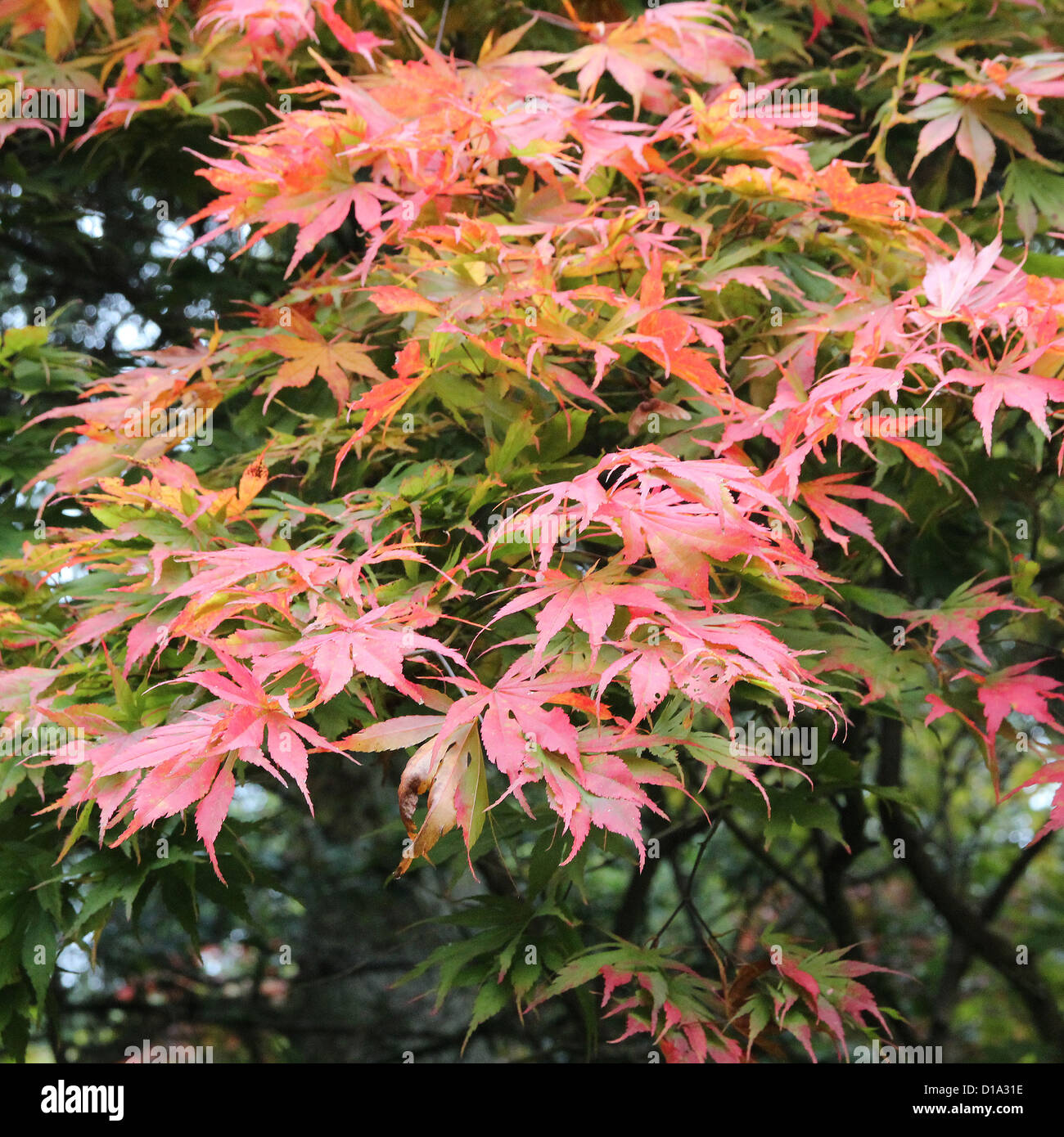 Acer Palmatum Atropurpureum Red Leaf Japanese Maple In Autumn
