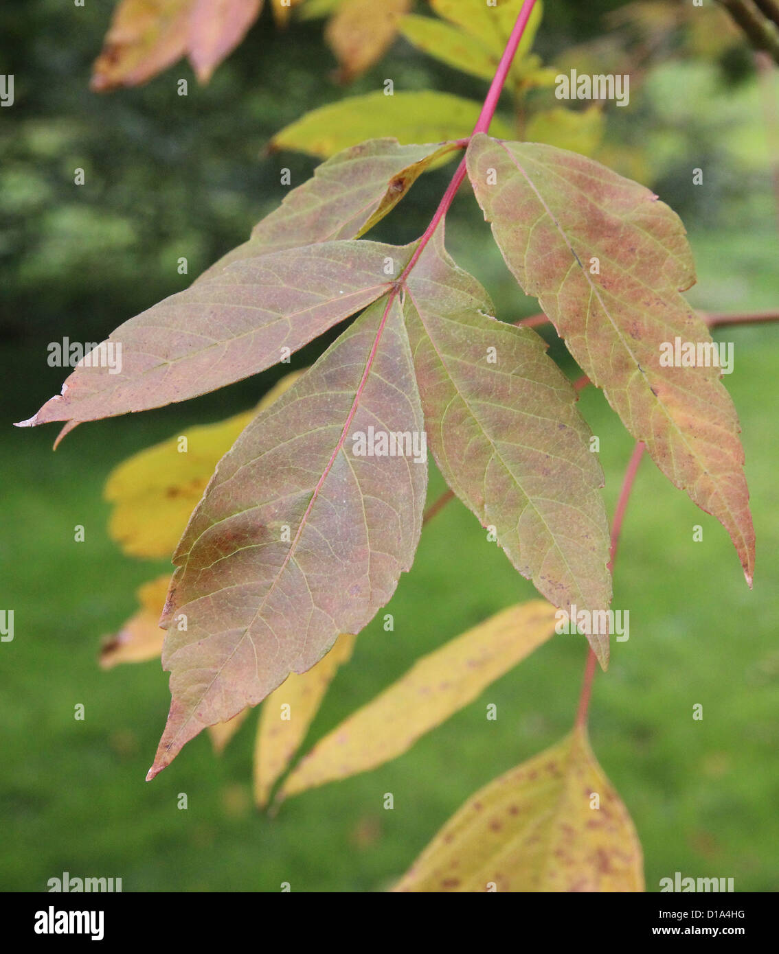 Acer Negundo Sensation Box Elder Or Ash Leaf Maple In Autumn