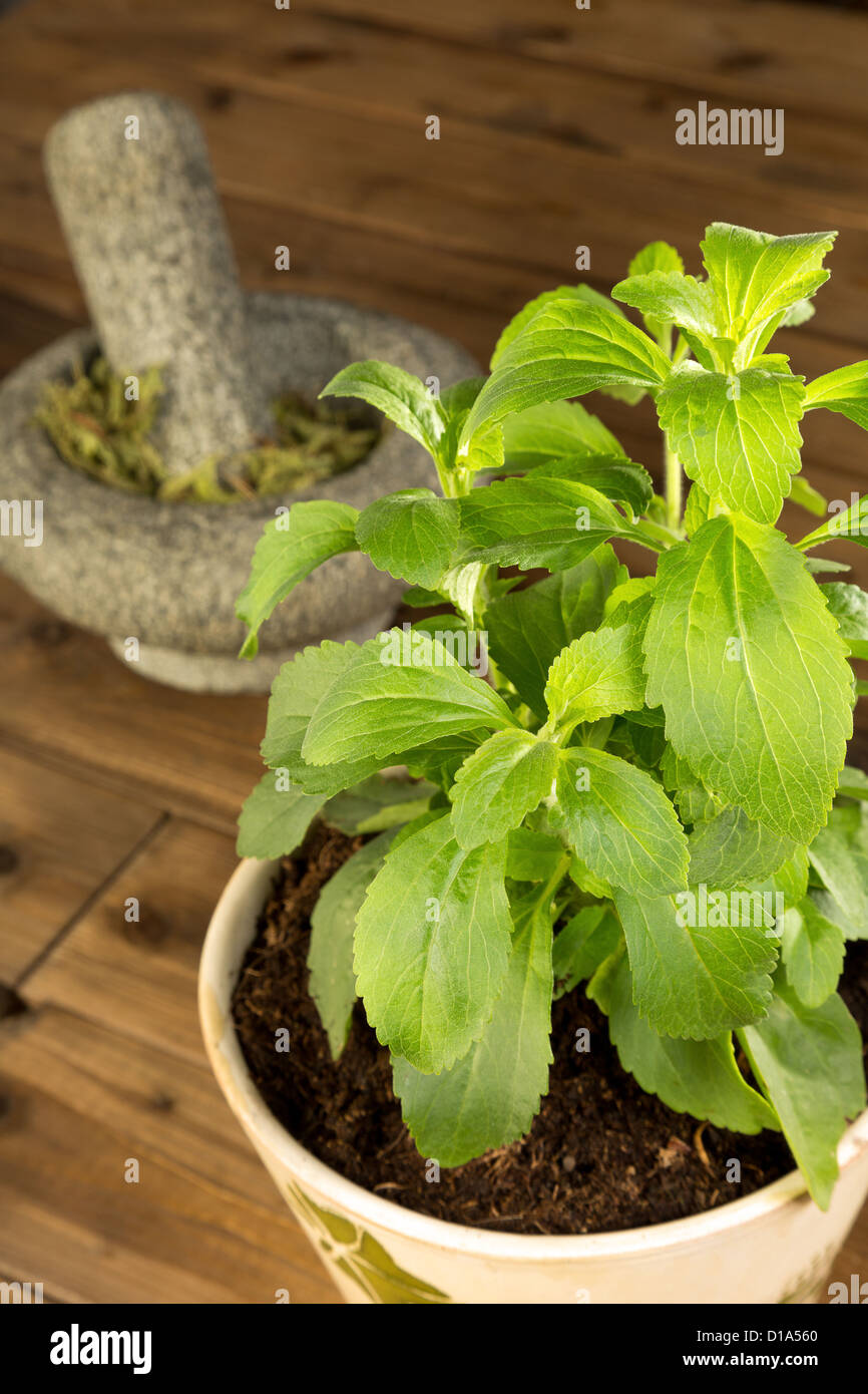 Potted stevia plant which is a healthy sugar substitute - Stock Image