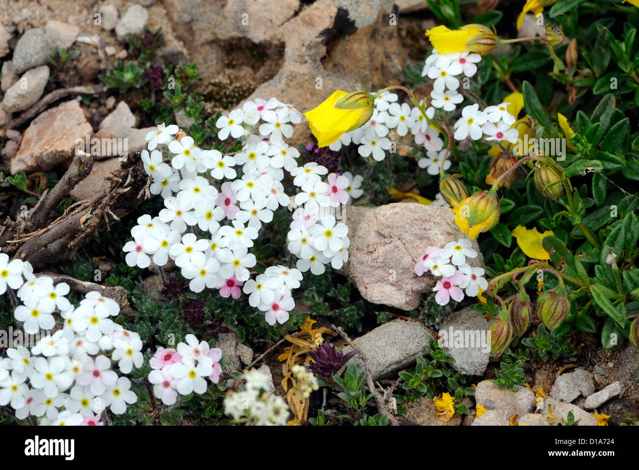 Alpine plants growing in limestone rocks. Fuente De,  Picos de Europa national park. Picos de Europa. Spain Stock Photo
