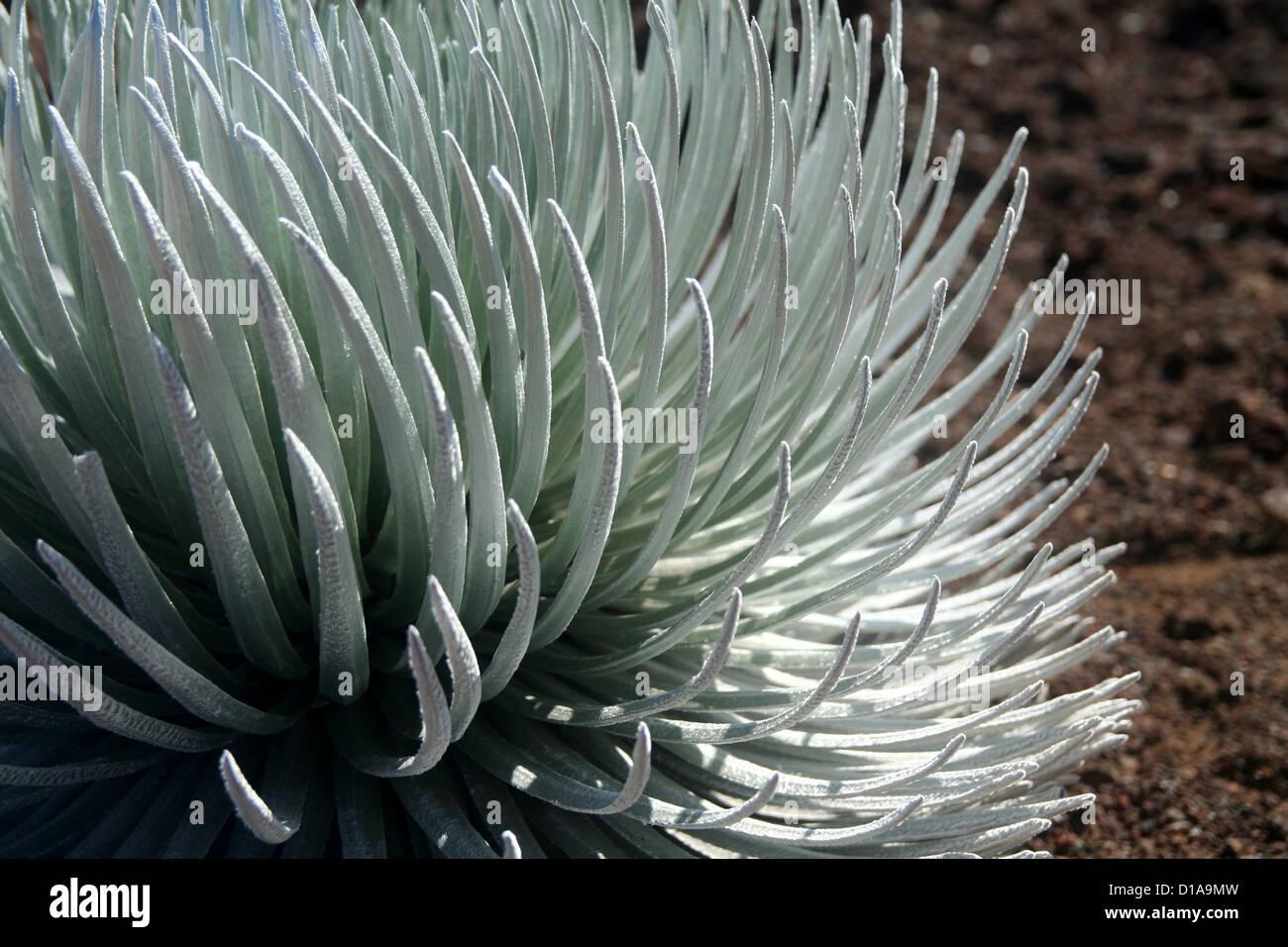 Silversword plant, Haleakala, Maui, Hawaii Stock Photo