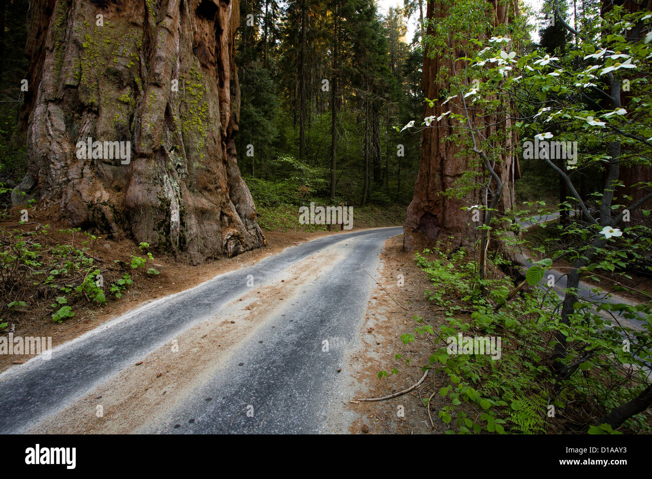 Dogwood flowers and giant redwoods along Generals Highway