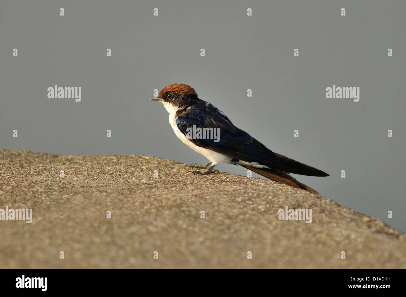 Wire-tailed Swallow :  Hirundo smithii - Stock Image
