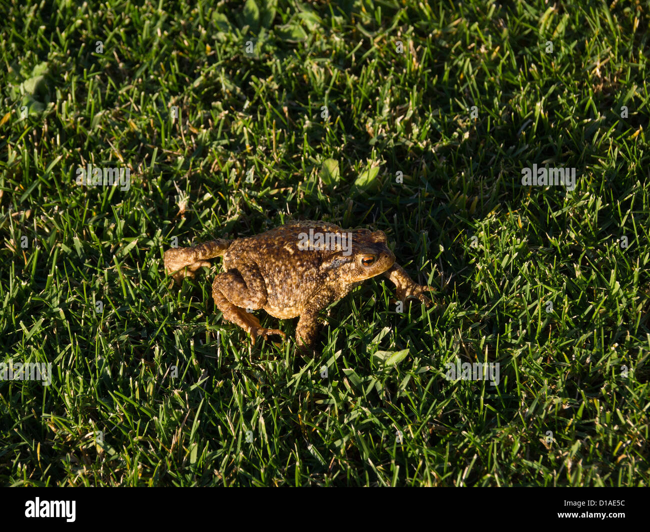 European common toad (bufo bufo ssp spinosus) on grass Stock Photo