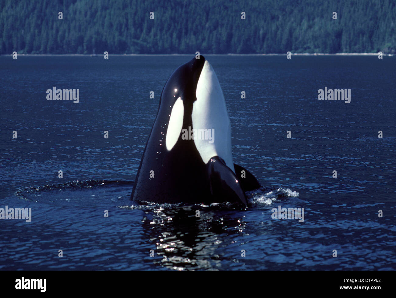 Killer whale, spyhopping..Orcinus orca.Johnstone Strait, British Columbia, Canada - Stock Image