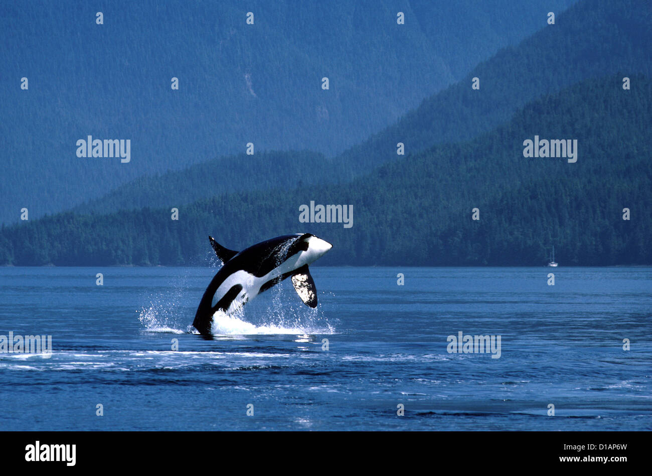 Killer whale; Orca.Orcinus orca.Male, breaching.Photographed in Johnstone Strait, British Columbia, Canada - Stock Image