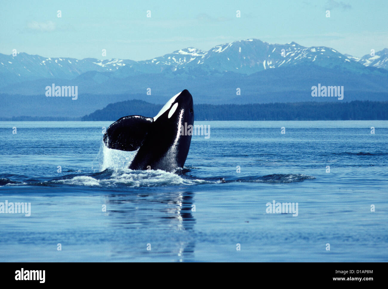 Killer whale; Orca.Orcinus orca.Male, breaching.Photographed in Icy Strait, Southeast Alaska. - Stock Image