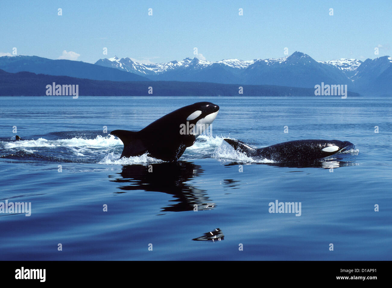 Killer whale; Orca.Orcinus orca.Breaching.Photographed in Icy Strait, Southeast Alaska, USA - Stock Image