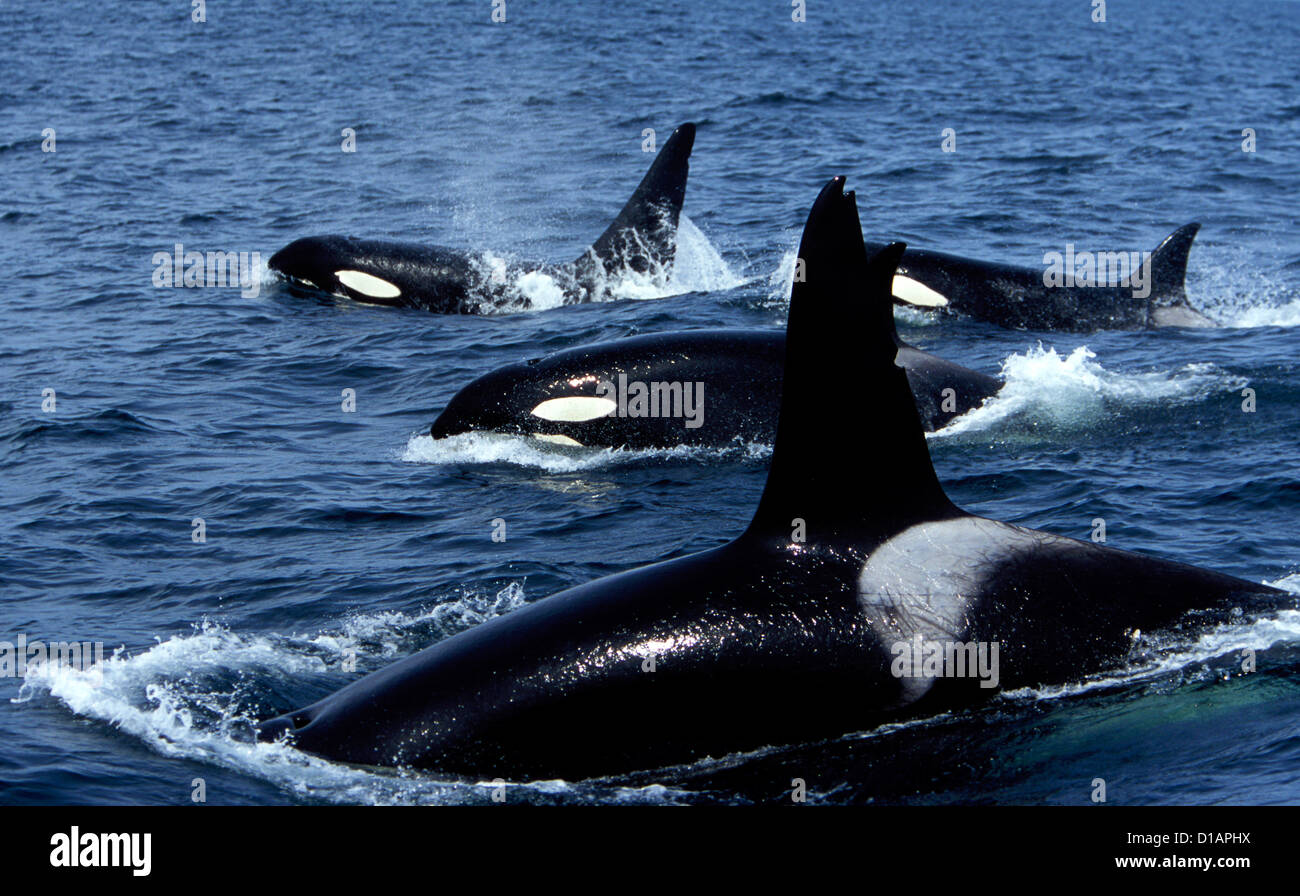 Pod of Transient Killer Whales; 2 males, and 2 females on this photograph. Photo taken in Monterey Bay, California, - Stock Image