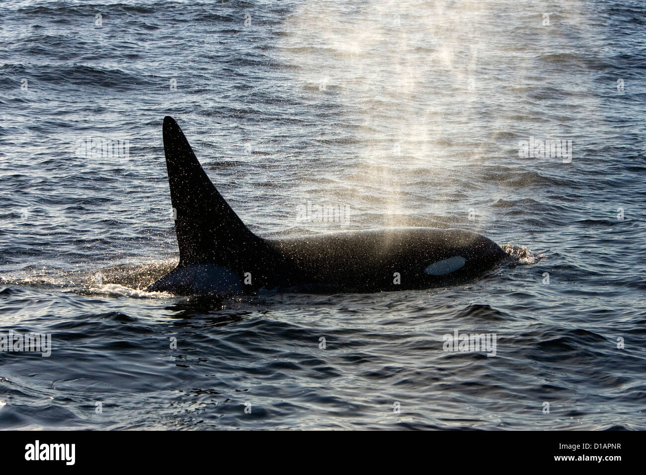 Killer whale, Transient type. Orcinus orca. Monterey Bay, California, USA, Pacific Ocean Stock Photo