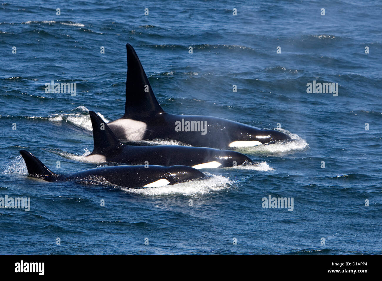Killer whales, Transient type.Orcinus orca. Monterey Bay, California, USA, Pacific Ocean - Stock Image
