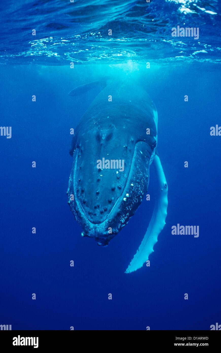 Humpback whale.Megaptera novaeangliae. Francois Gohier - Stock Image