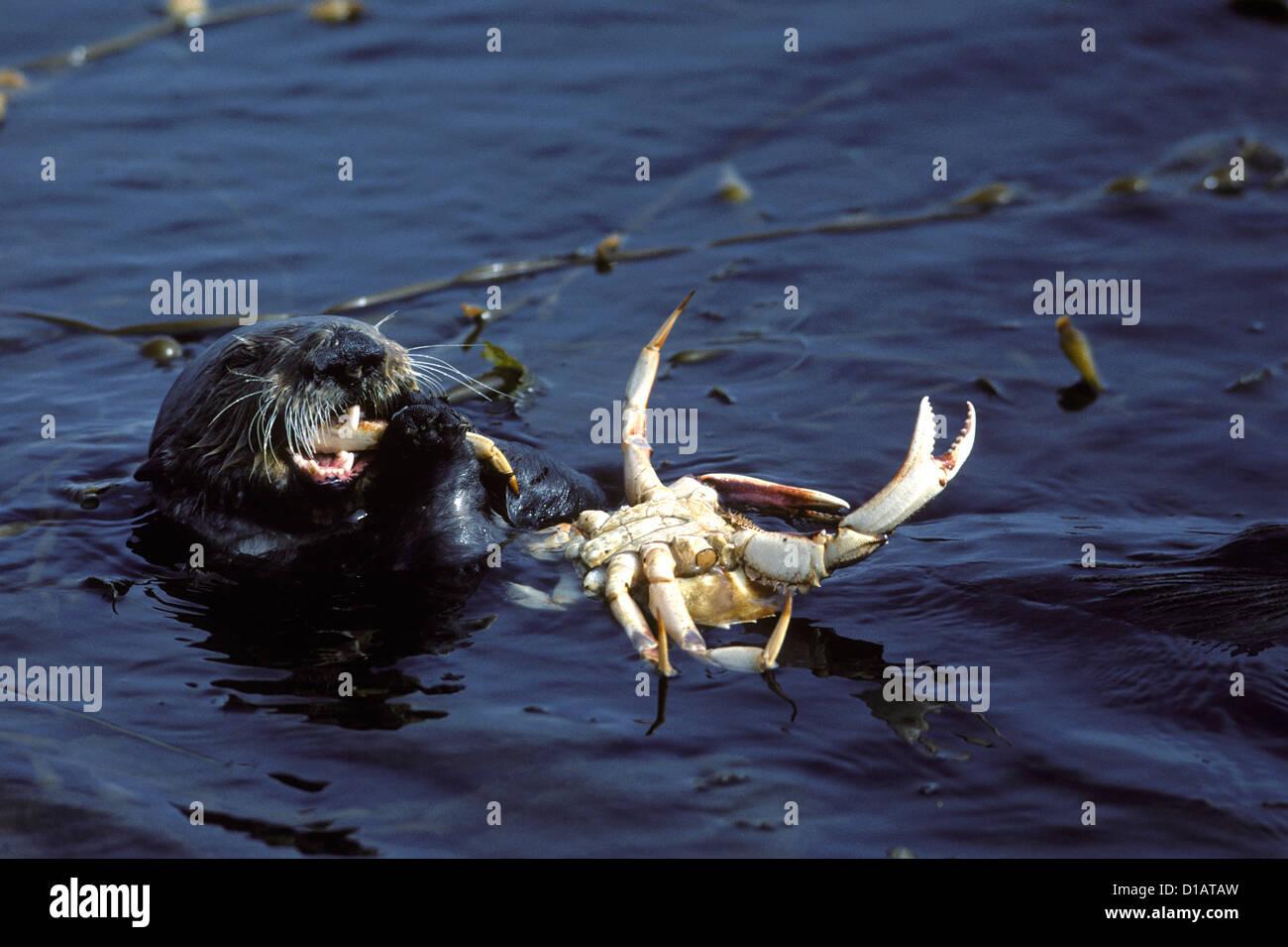 Sea otter.Enhydra lutris.Feeding on crab..Monterey Bay, Pacific Ocean, California, USA - Stock Image