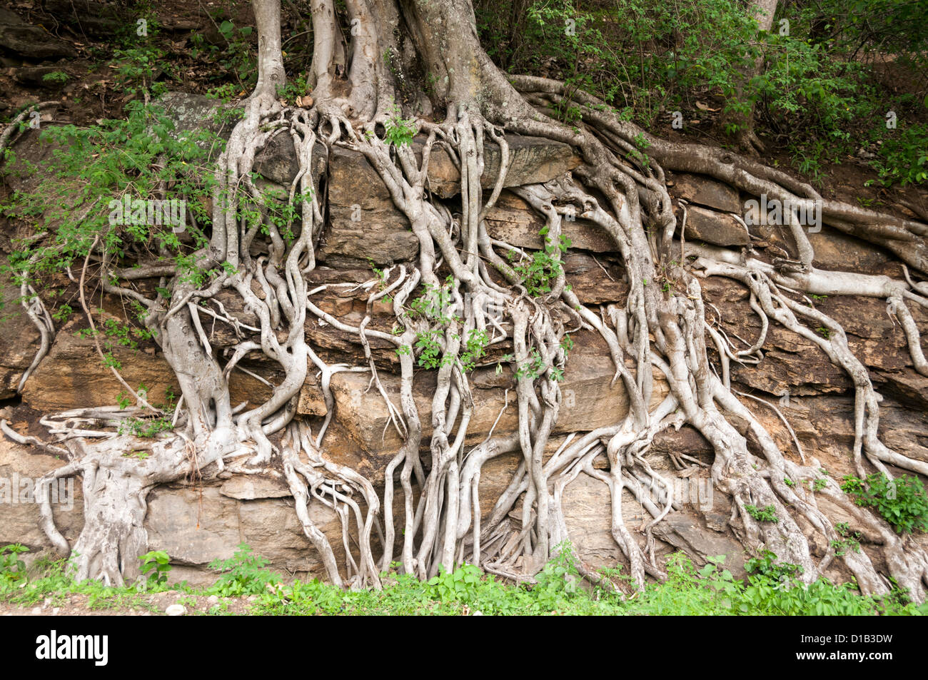 Tree roots growing through rock - Stock Image