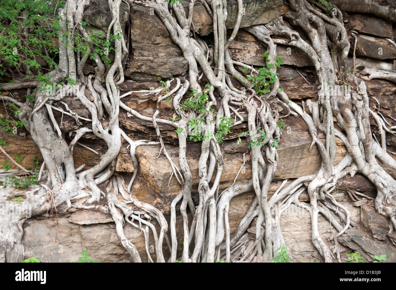 Tree roots over rocks, Marayur forest, kerala, India - Stock Image