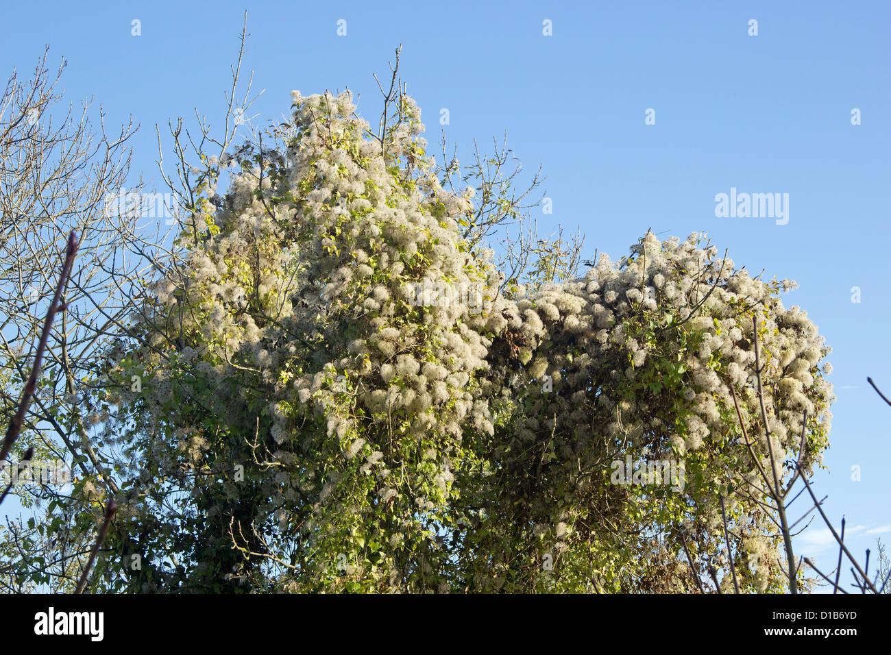 Russian vine  (Fallopia baldschuanica) - Stock Image