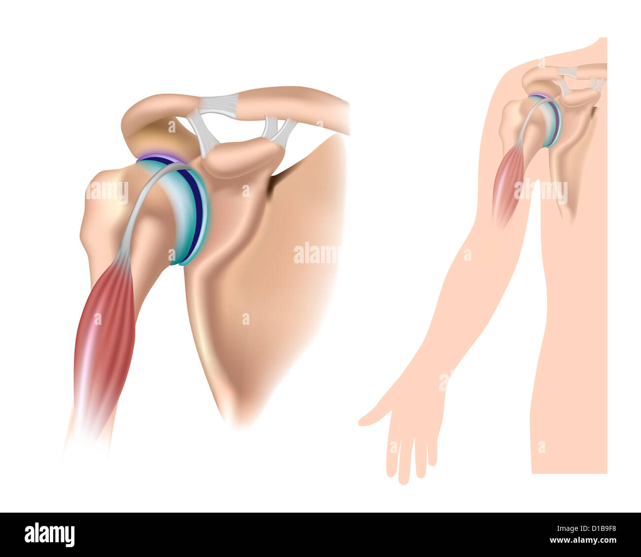 Shoulder anatomy with acromioclavicular joint Stock Photo: 52494716 ...