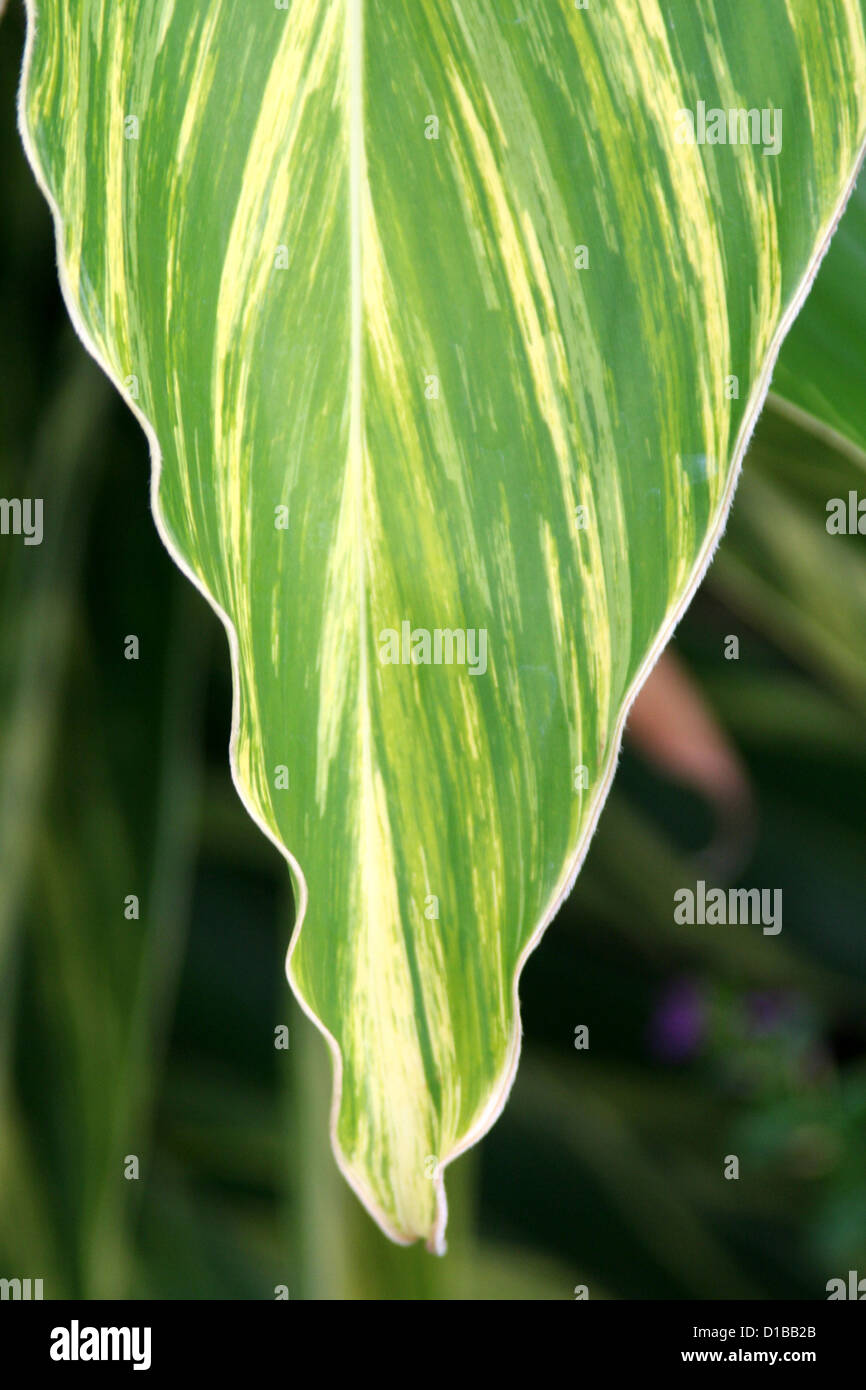 Variegated green yellow ginger leaf detail Stock Photo
