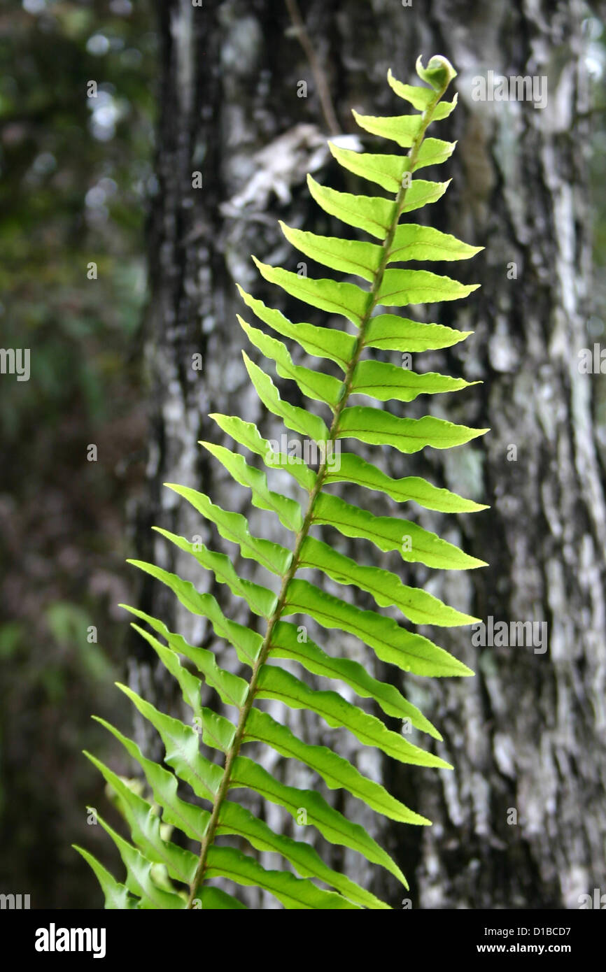 Green fern leaf with background of tree bark - Stock Image