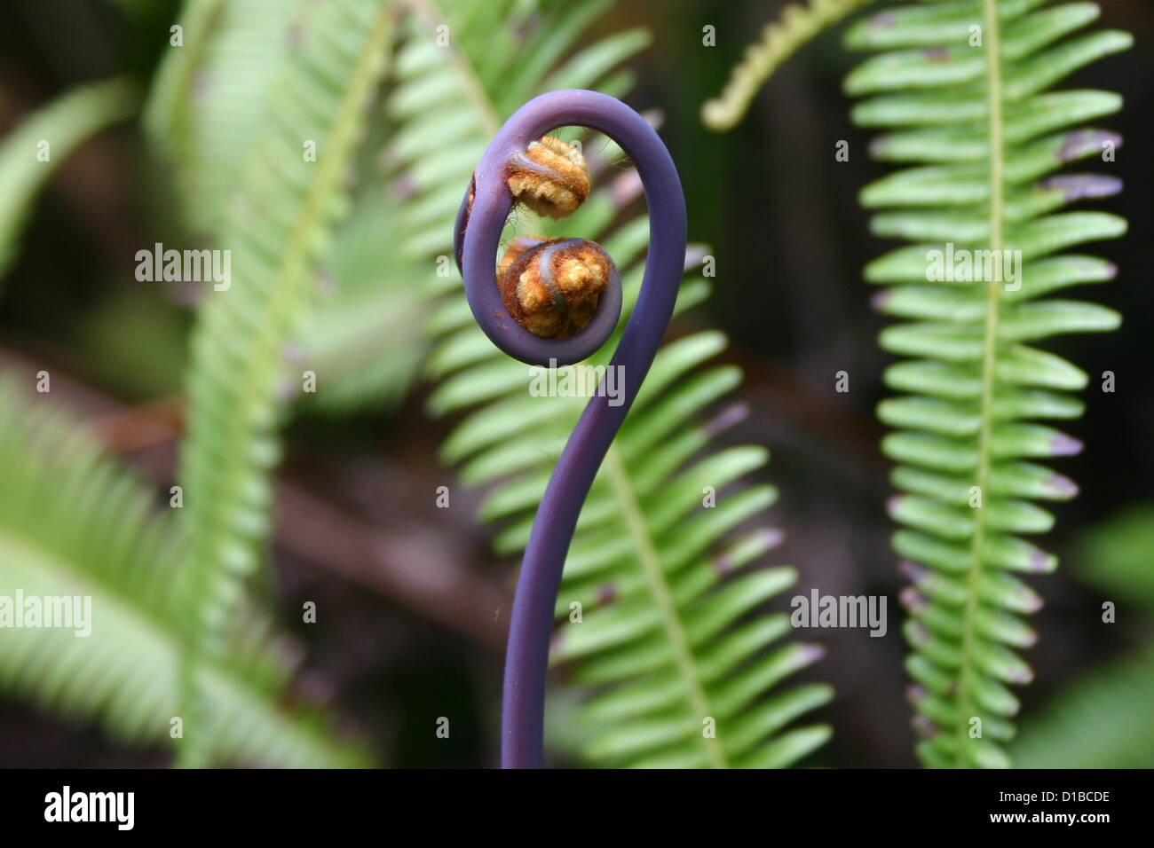 Black fiddlehead fern tendril with ferns in background Stock Photo