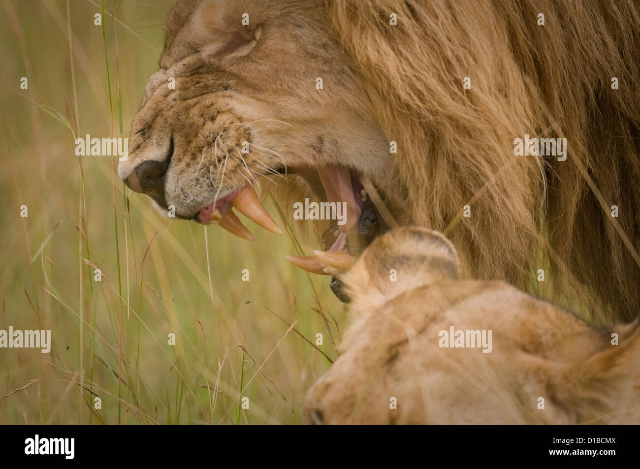 Lion snarling-head shot - Stock Image