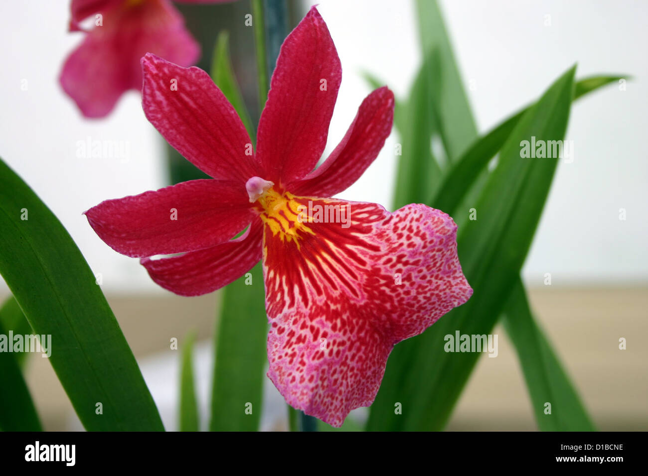 Red, pink orchid flower Stock Photo