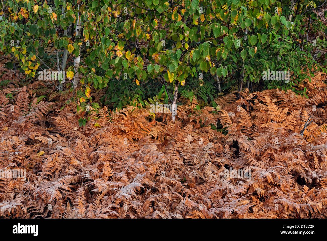Roadside bracken ferns and aspens, Greater Sudbury, Ontario, Canada - Stock Image