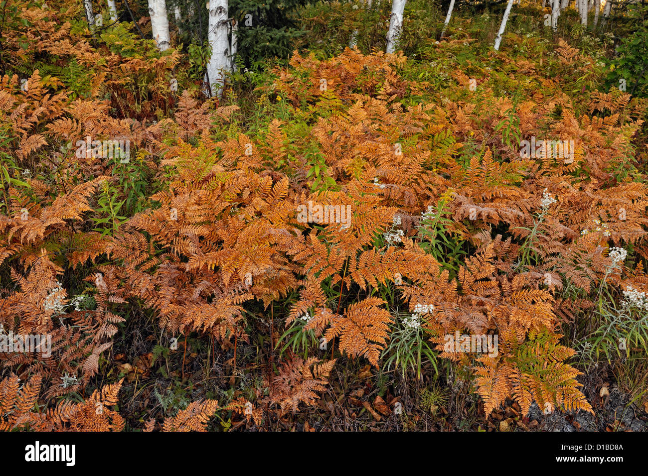Bracken ferns and wildflowers in the understory of a birch woodlot, Greater Sudbury, Ontario, Canada - Stock Image