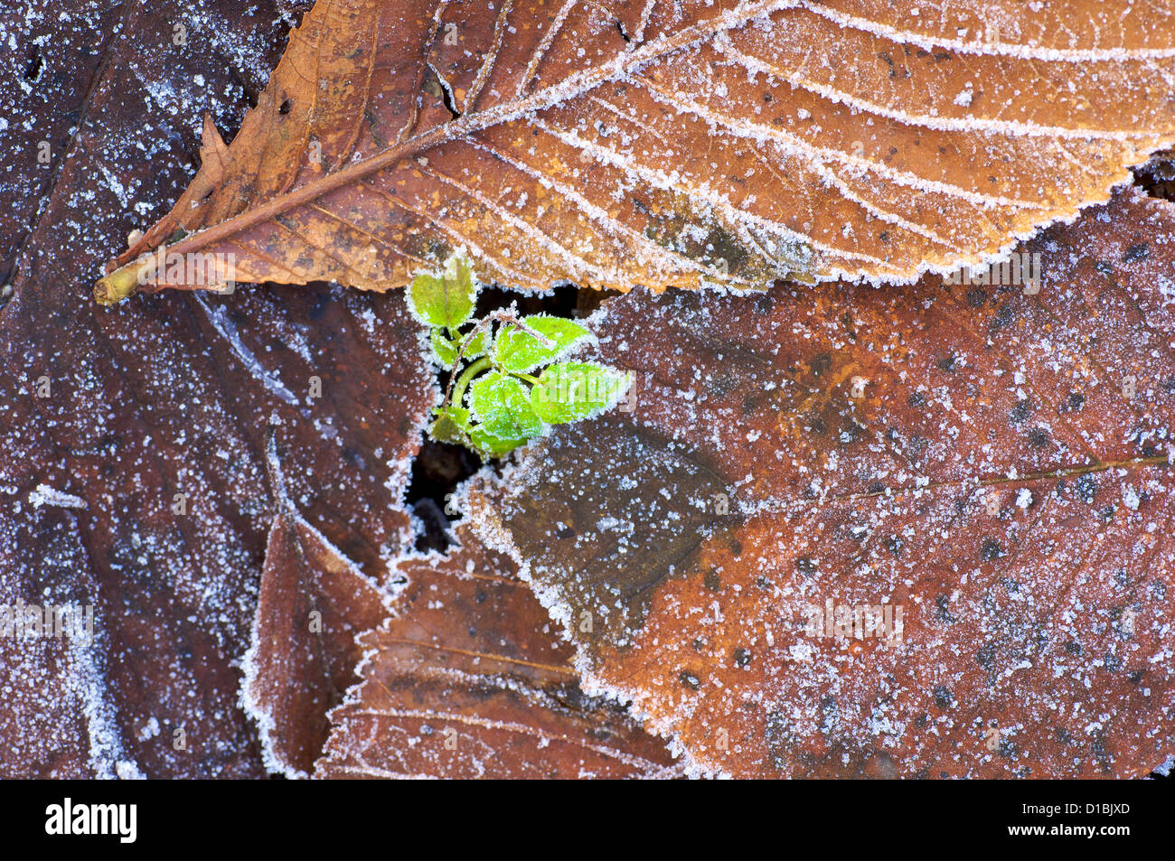 Green shoots breaking through frozen ground and dead autumn leaves on woodland floor Stock Photo