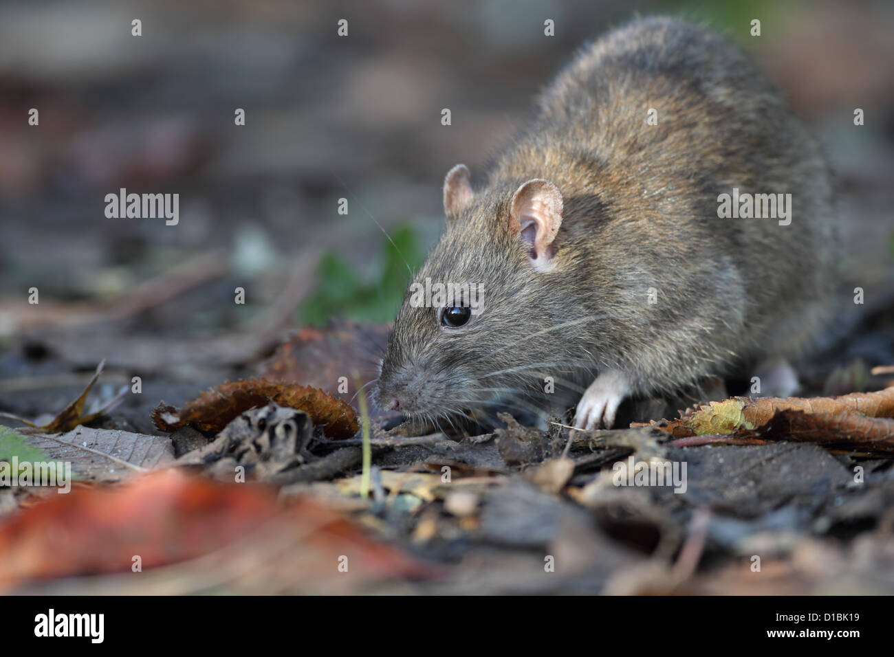 Brown Common Sewer Hanover Norway Norwegian Wharf Rat (Rattus norvegicus) - Stock Image