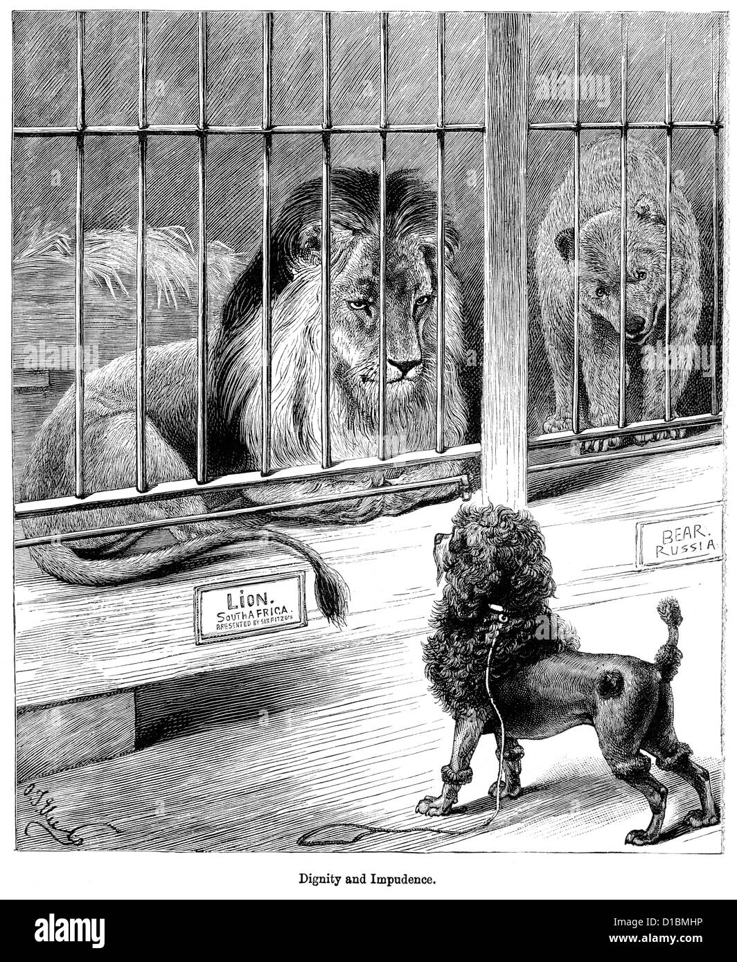 Victorian engraving of dog confronting a caged lion at the zoo, 1897 - Stock Image