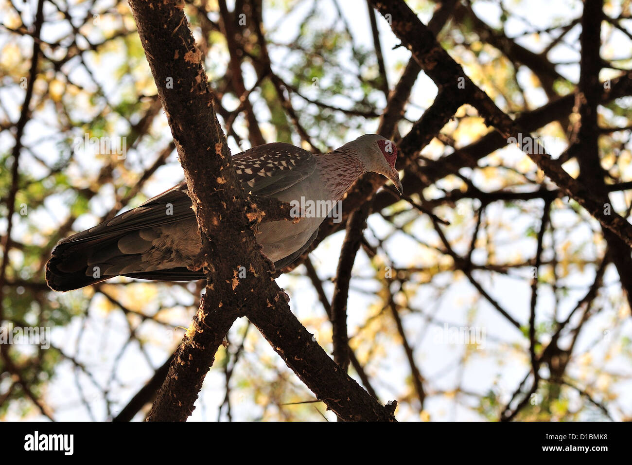 Speckled Pigeon Columba guinea, Columbidae, Arna Minch, Etiopia, Africa Stock Photo