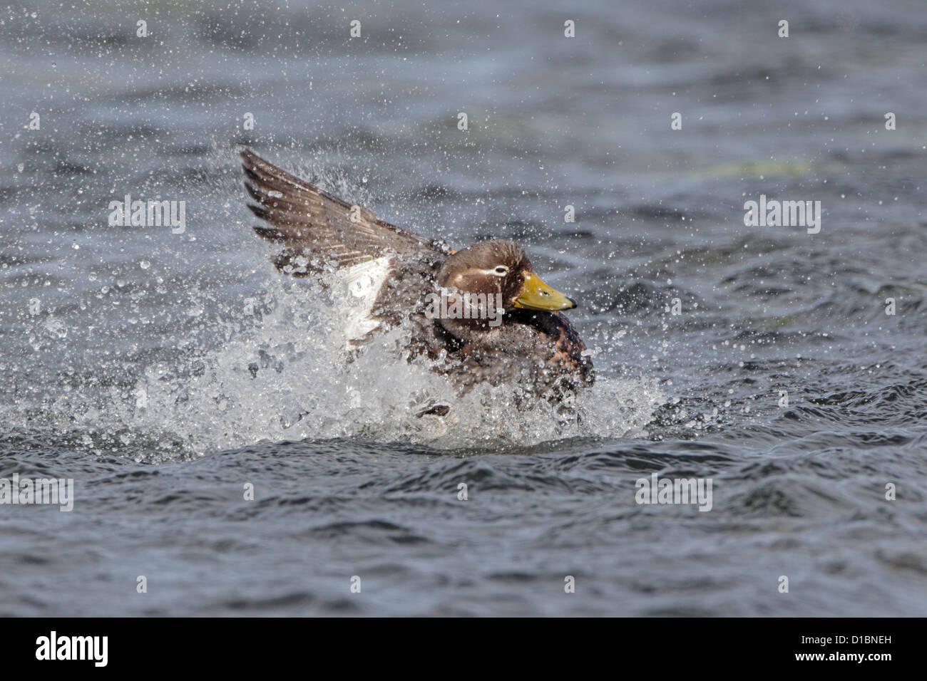 Female Falkland Island Flightless steamer Duck bathing in the sea - Stock Image