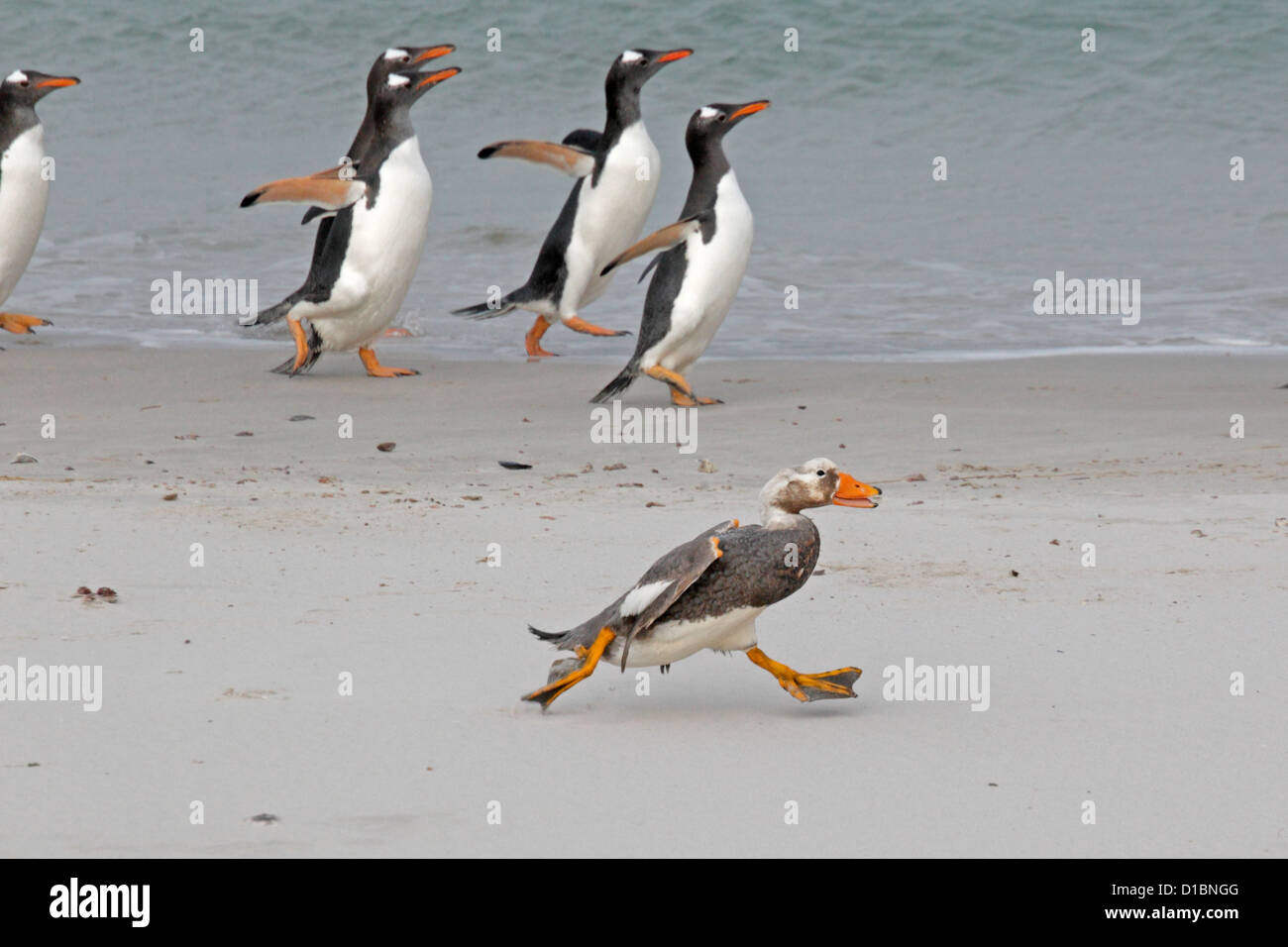 Falkland island Flightless steamer duck and Gentoo penguins running on a beach - Stock Image