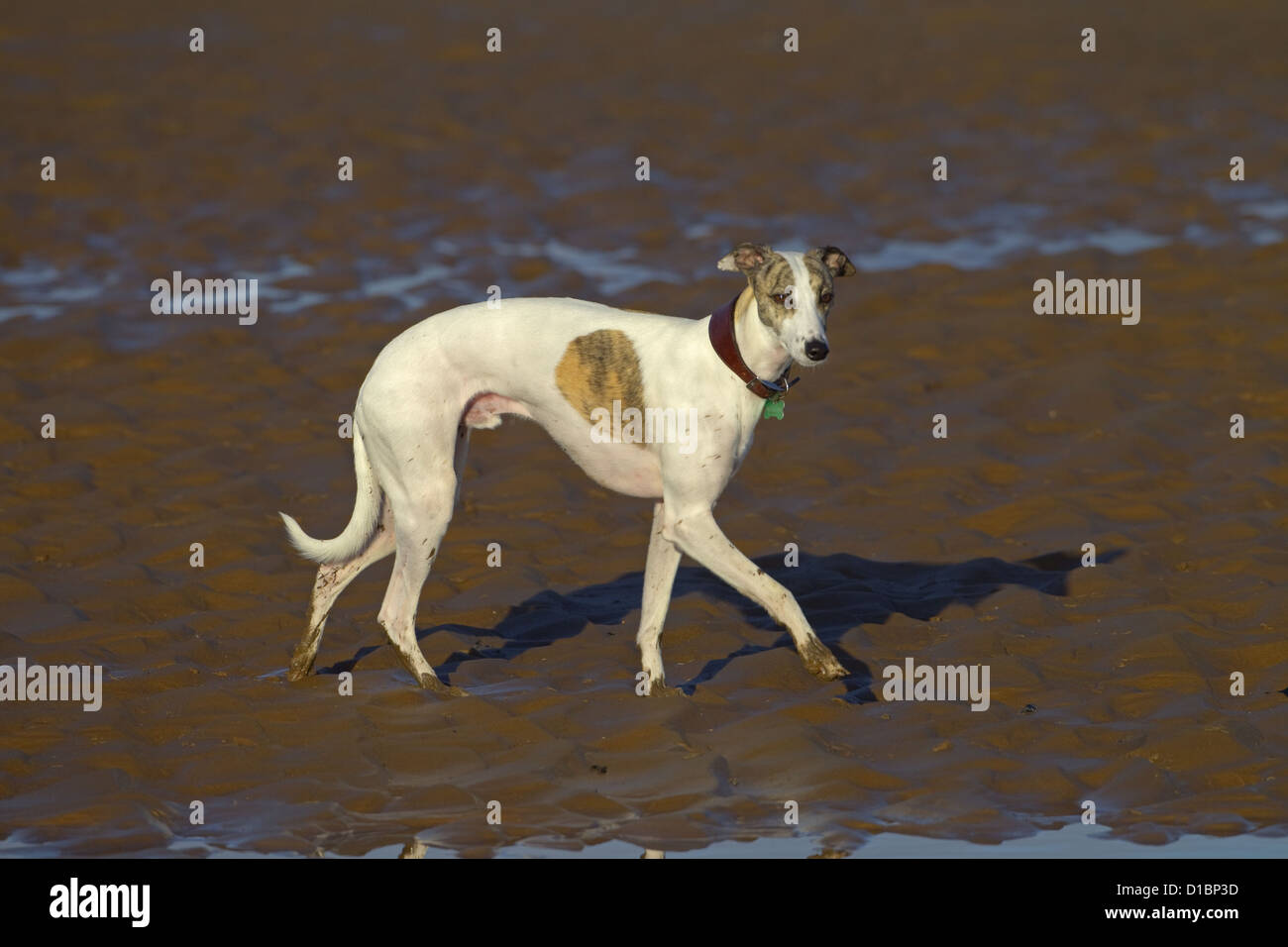 Whippet feeling cold - Stock Image