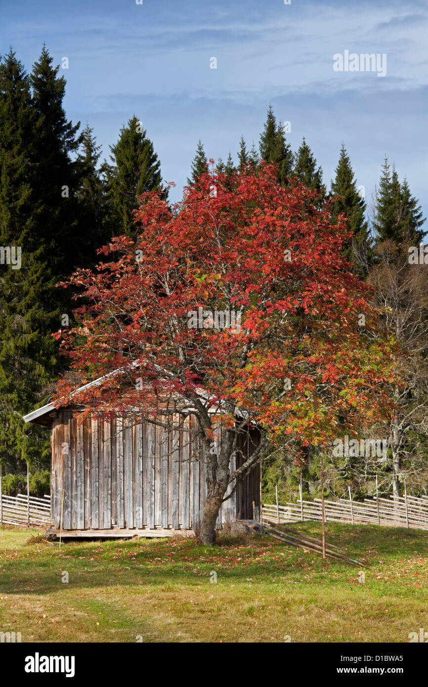 Wooden barn at farm and tree in autumn colours, Dalarna, Sweden, Scandinavia - Stock Image